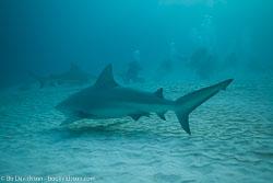 BD-101205-Playa-del-Carmen-2610-Carcharhinus-leucas-(Müller---Henle.-1839)-[Bull-shark.-Tjurhaj].jpg